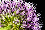 Beauty Mark Framed Prints - Allium Framed Print by Mark Johnson