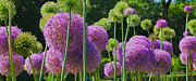Ornamental Flower Prints - Allium Panoramic Print by Joann Vitali