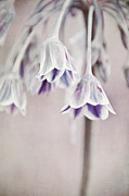 Soft Pink Posters - Allium rose Poster by Iris Lehnhardt