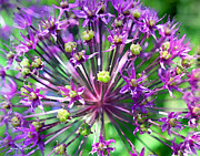 Flower Digital Art Framed Prints - Allium series - Close Up Framed Print by Moon Stumpp