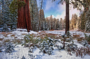 Sequoia National Park Prints - Almighty Print by Jeffrey Campbell