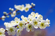 Almond Metal Prints - Almond Blossom Metal Print by Carlos Caetano