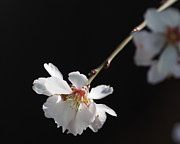 Linda  Smith - Almond Blossom Morning
