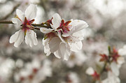 Almond Blossom Framed Prints - Almond Blossoms Framed Print by Shahar Tamir