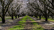 Mike Ronnebeck - Almond Grove