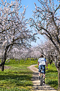 Almond Blossom Framed Prints - Almond Orchards In Full Bloom Framed Print by Abram House
