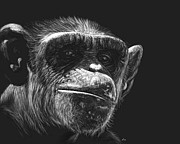 Chimpanzee Drawings Posters - Almost Human Poster by Heather Ward