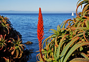 Susan Wiedmann Art - Aloe Arborescens Flowering at Pacific Grove by Susan Wiedmann