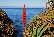 Susan Wiedmann - Aloe Arborescens Flowering at Pacific Grove