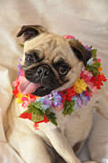 Pugs Posters - Aloha  Poster by Jan Amiss Photography
