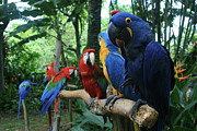 Beautiful Birds Posters - Aloha kaua Aloha mai no Aloha aku Beautiful Macaw Poster by Sharon Mau
