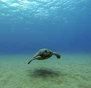 Green Sea Turtle Photo Framed Prints - Alone at Sea Framed Print by Brad Scott