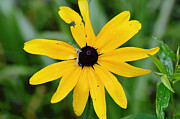 Black Eye Susan Prints - Alone in a Field Print by Nicole Rodriguez