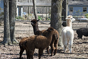 Kathy Clark - Alpaca Family Unit
