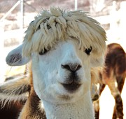 Helen Carson - Alpaca Hair Do