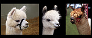 Alpaca Framed Prints - Alpaca Love Triptych Framed Print by Terril Heilman