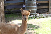 Park Acrylic Prints - Alpaca - National Zoo - 01131 Acrylic Print by DC Photographer