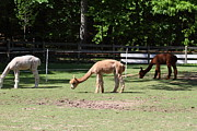 Alpaca Framed Prints - Alpaca - National Zoo - 01132 Framed Print by DC Photographer
