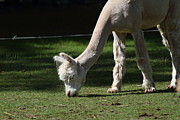 Alpaca Framed Prints - Alpaca - National Zoo - 01134 Framed Print by DC Photographer