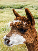 Alpacas Framed Prints - Alpaca Framed Print by Robert Bales
