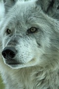 Wolf Portrait Prints - Alpha Girl Closeup Print by Adam Jewell