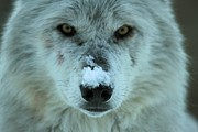 Wolf Portrait Prints - Alpha Intensity Print by Adam Jewell