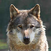 Big Eye Dog Prints - Alpha Male Wolf - Im Watching You Print by Gill Billington