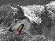 Big Eye Dog Prints - Alpha Male Wolf - You Look Tasty 2 Print by Gill Billington