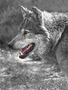 Big Eye Dog Prints - Alpha Male Wolf - You Look Tasty Print by Gill Billington