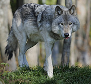 Timber Wolf Photos - Alpha... by Nina Stavlund