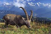 Swiss Horn Metal Prints - Alpin Ibex Male Grazing Metal Print by Konrad Wothe