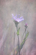 Aster  Framed Prints - Alpine Aster Framed Print by Angie Vogel