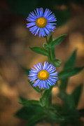 Rosette Metal Prints - Alpine Aster Metal Print by Robert Bales