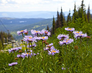 Aster Photos - Alpine Aster by Theresa Tahara