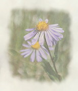 Aster Flower Prints - Alpine Asters Print by Angie Vogel