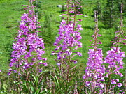 Mount Washington Mixed Media Prints - Alpine Fireweed - Mount Rainier National Park Print by Photography Moments - Sandi