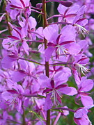 Meadows Mixed Media - Alpine Fireweed by Photography Moments - Sandi