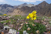 Native Stone Photos - Alpine Flowers by Aaron Spong