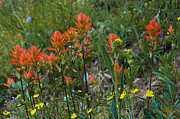 Yellow Line Prints - Alpine Wildflowers 3 Print by Aaron Spong
