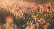 Ryan Manuel - Alpine Wildflowers at...