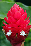 Hana Photos - Alpinia Purpurata Jungle King Red Ginger by Karon Melillo DeVega