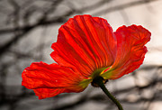 Flower Photos Posters - Altar of the Poppy - Flower Photography Poster by Laria Saunders