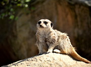 Meerkat Posters - Always Alert Poster by Relihan Art