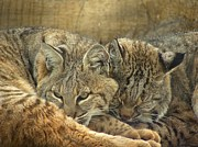 Bobcats Metal Prints - Always Watching Metal Print by Teresa Schomig