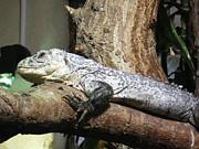 Am A Reptile. Print by Ann Fellows