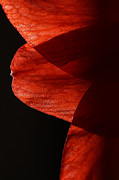 Flower Curves Prints - Amaryllis Abstract Print by Karol  Livote