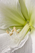 High Key Framed Prints - Amaryllis Framed Print by Adam Romanowicz