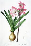 Colourful Flower Prints - Amaryllis Belladonna from Les Liliacees engraved by de Gouy Print by Pierre Joseph Redoute