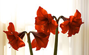 S Amaryllis Prints - Amaryllis By Morning Light Print by Jane Eleanor Nicholas