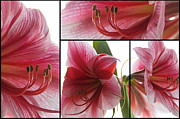 Collage Pyrography Framed Prints - Amaryllis Collage Framed Print by Steffen Gierok
